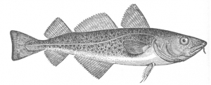 groundfish-drawing-2