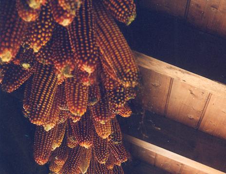 trentino-corn