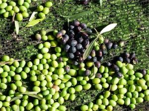 olives on ground