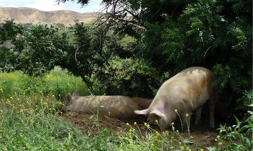 Riverdog Hogs