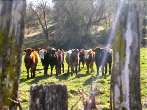 magruder_cows