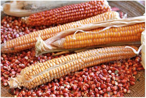 corn_500