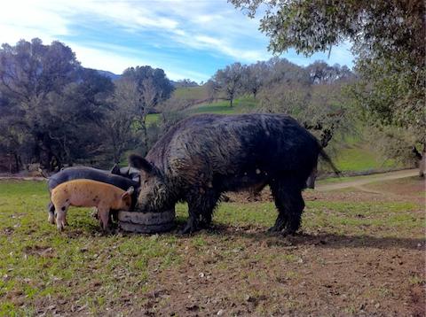Magruder's Wild European Boar