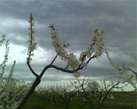 Flavor King pluot in bloom, photo by Welling Tom