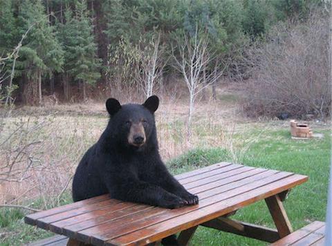 bear_480