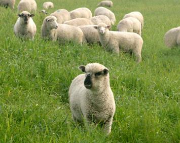 McCormack Ranch Lambs