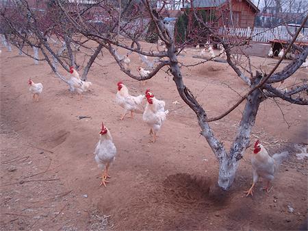chickenvineyard_450