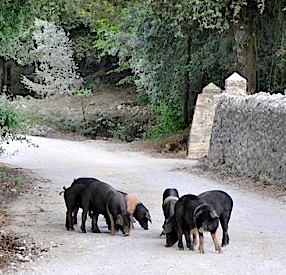 pigs_in_road