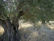 olive_tree_288