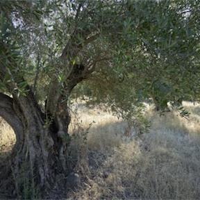 olive_tree_288