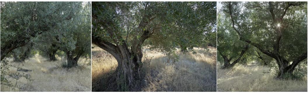 olive_trees