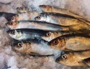 herring 288