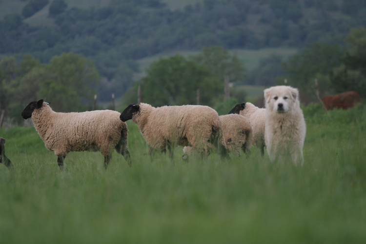 Reese the watchdog guards the flock. Photo courtesy of Magruder Ranch