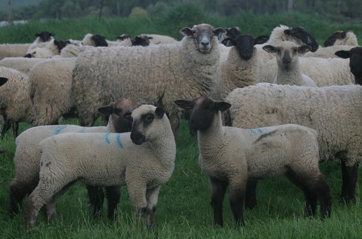magruder3_lamb
