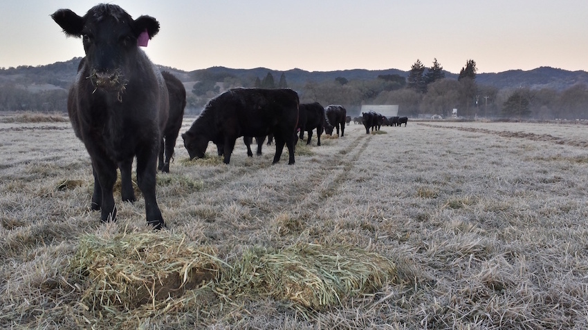 Frosty-Cows-courtesy-Magruder-Ranch-featured