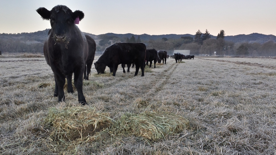 Frosty-Cows-courtesy-Magruder-Ranch