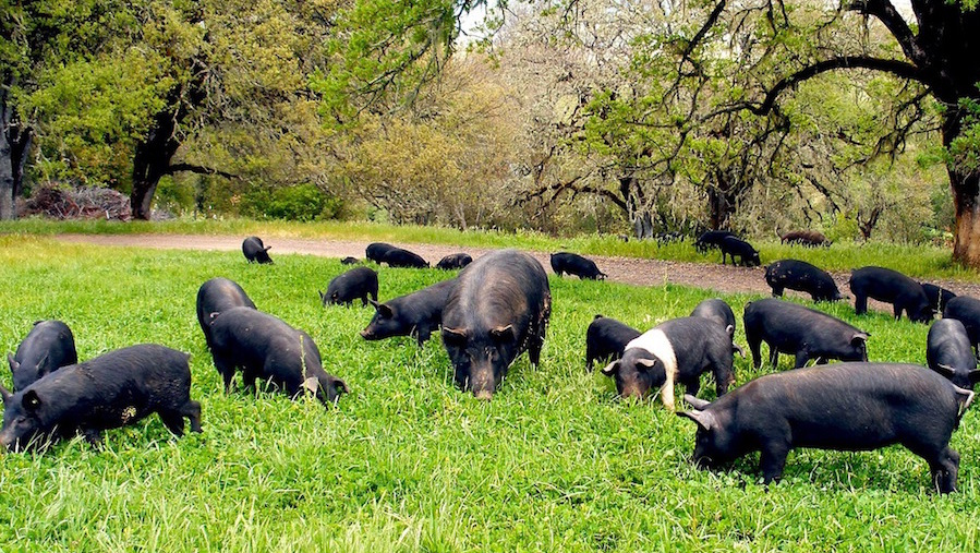 Happy pigs. Photo courtesy of Magruder Ranch.