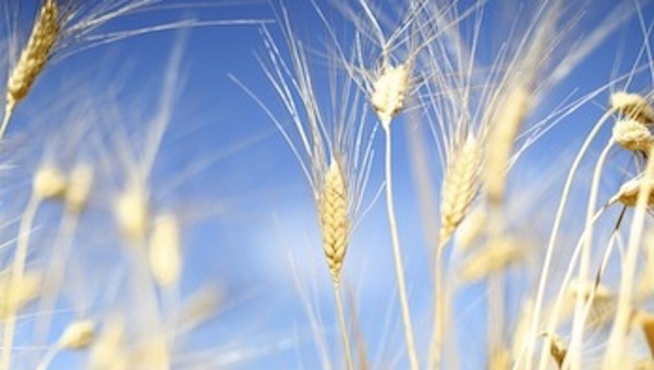 wheat-16-9-3