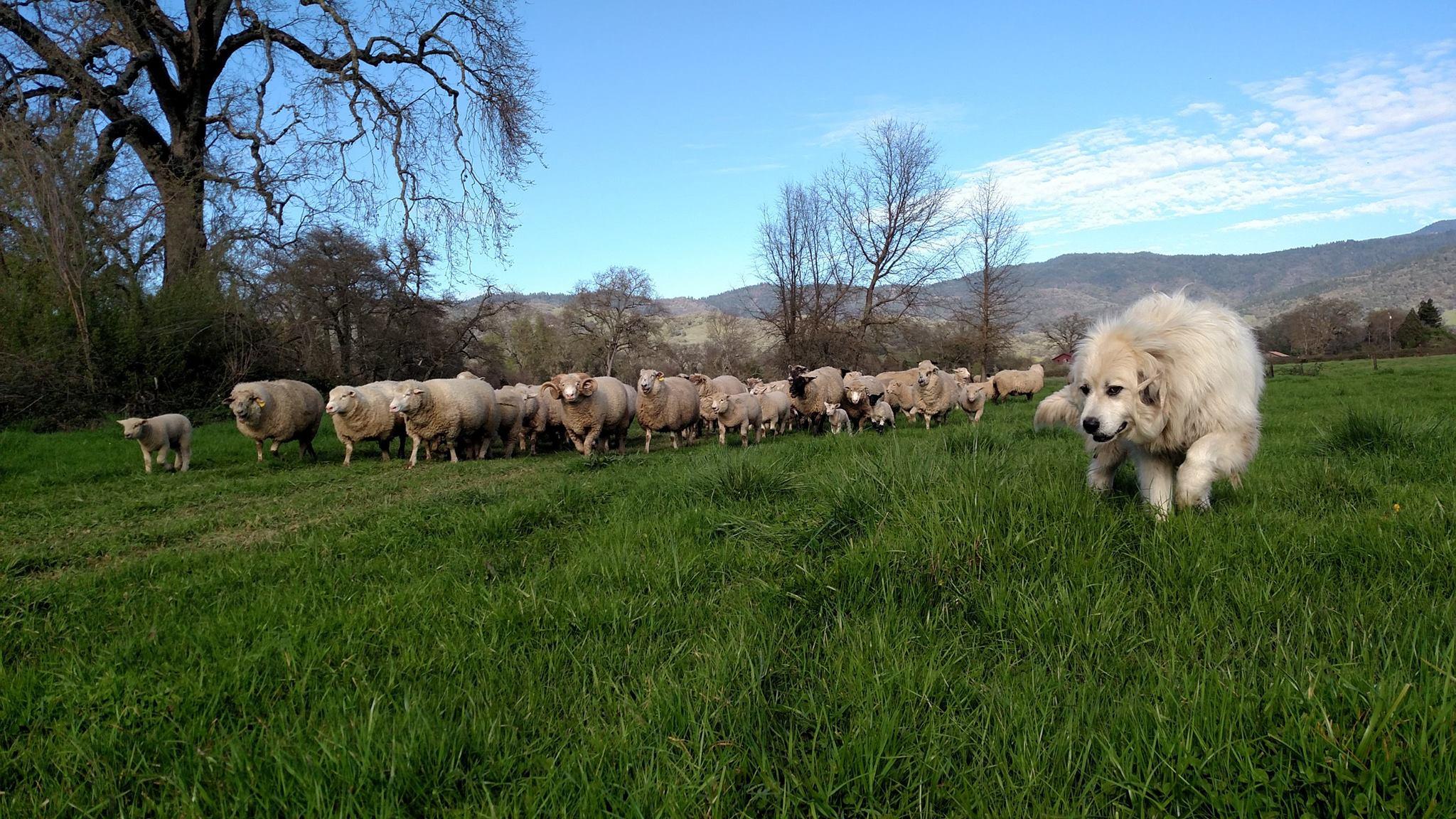buddy-leading-sheep
