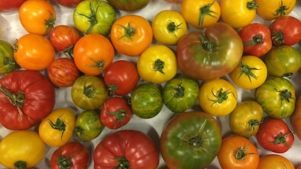 26th annual tomato dinners to begin September 13