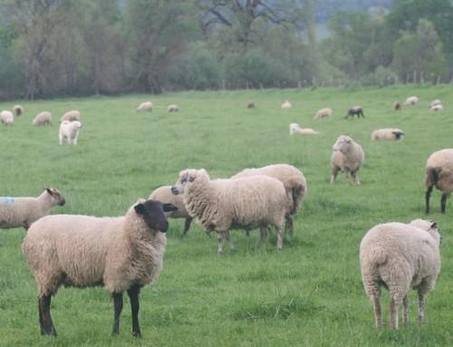 Crazy Good Lamb