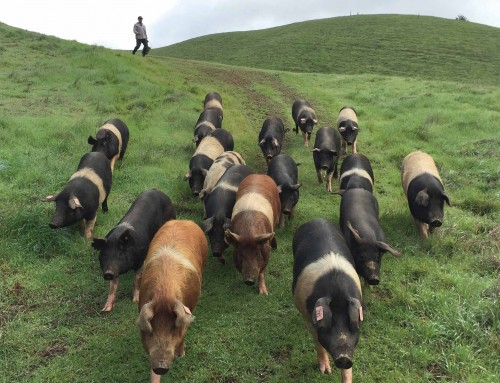 Front Porch Farm's Cinta-Berkshire Cross Pigs